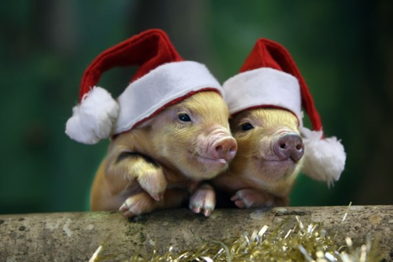 на год свиньи