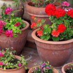 Цветы в вазоне будут долго радовать учителя и украшать класс