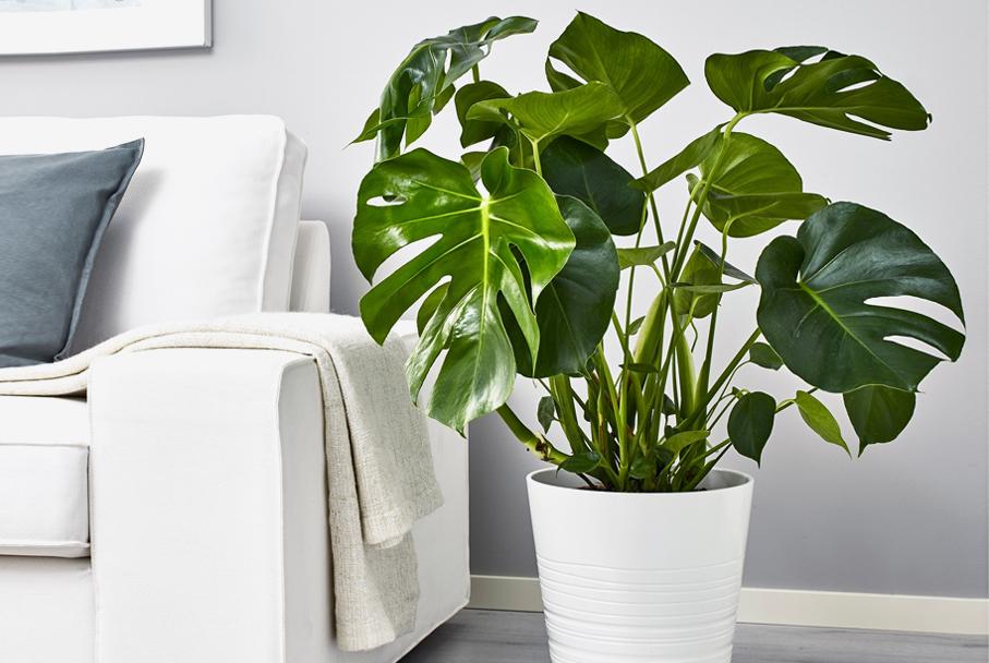 монстерра декоративное растение